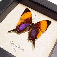Real Framed Purple Orange Conservation by REALBUTTERFLYGIFTS, $29.99