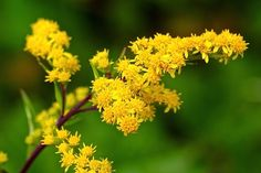 Image result for goldenrod next to person