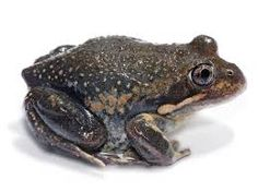Image result for cutest pobblebonk frogs