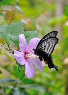 Rose of Sharon with a Swallowtail Butterfly.