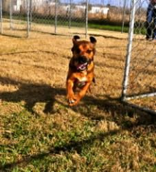 Dillon - ADOPTED! Hound & Cocker Spaniel Mix • Young • Male • Medium Scouts Honor Rescue Inc. Houston, TXDillon is an #Hound #Dog in #Houston, #TEXAS. Meet Dillon! He is one of the most fantastic mini Hound dogs on the planet! Dillon was taken in to Scouts Honor Rescue's adoption program from a local ...