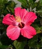 -hibiscus