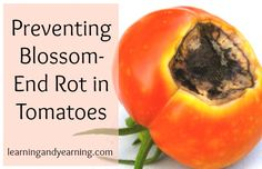 Ineffable Secrets to Growing Tomatoes in Containers Ideas. Remarkable Secrets to Growing Tomatoes in Containers Ideas. Veg Garden, Tomato Garden, Garden Pests, Edible Garden, Garden Tips, Vegetable Gardening, Garden Tomatoes, Garden Ideas, Tips For Growing Tomatoes