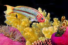 Billedresultat for koralfisk