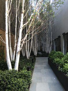 Multi stem Silver Birch trees planted en masse to best showcase the striking white bark art design landspacing to plant Garden Landscape Design, Small Garden Design, Garden Trees, Trees To Plant, White Bark Trees, Mixed Border, Baumgarten, White Gardens, Small Gardens