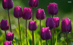 Image detail for -Purple tulips wallpaper - Flower wallpapers - #5869