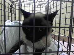 TO BE DESTROYED 6/2/14 ** Manhattan Center  My name is BUTTERFLY. My Animal ID # is A1000802. I am a female seal pt siamese mix. The shelter thinks I am about 1 YEAR 1 MONTH old.  I came in the shelter as a STRAY on 05/23/2014 from NY 10452, owner surrender ABANDON. I came in with Group/Litter #K14-178496.
