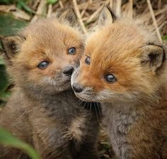 Look at these smol foxxos - foxes Cute Baby Animals, Animals And Pets, Funny Animals, Beautiful Dogs, Animals Beautiful, In Natura, Pet Fox, Wild Dogs, African Animals