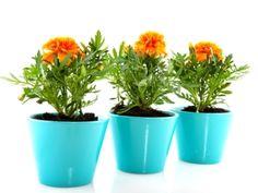 Aksamitník: nenáročná rostlina do zahrady