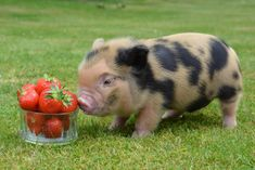 Micro pig and strawberries. Adorable animals and cuddly friends
