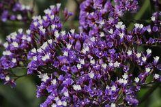 pretty Caspia flowers