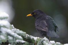 Dieters-Bilderwelten von Dieter M. Garden Birds, Backyard Birds, Crows Ravens, Blackbirds, Little Birds, Amazing, Nature, Animals, Birds