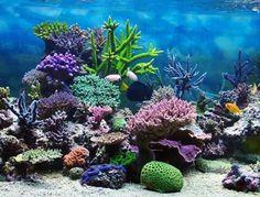 Corales morado verde
