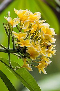 Frangipanier flowers