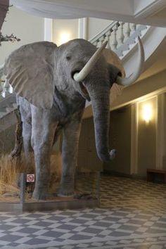 Afrikannorsu ottaa tulijat vastaan aulassa.