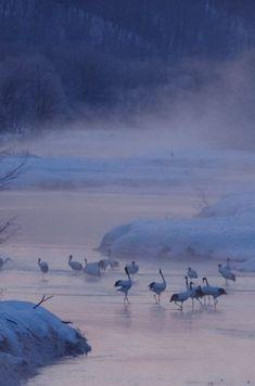 Marcel Gascón ha guardado en Gruidae [Gruinae]Red Crowned Cranes in Tsurui Village, Kushiro, Hokkaido, Japan 鶴居村