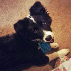 presh Border Collie pup