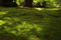 Sheet Moss (Hypnum) is easy to cultivate and stands up to foot traffic. It forms a low dense mat, making it a favored lawn alternative; $24.95 for five pounds (covers 5 square feet) at TN Native Tree & Plant Nursery.