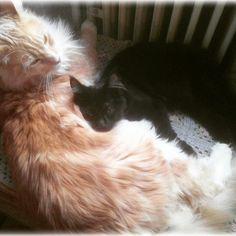 Cats MaineCoon Bestfriends Friends