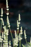 """Lavandula angustifolia """"Alba"""" : Una Lavanda preziosa, rara, con fioritura bianco puro, di circa 60 cm. di altezza, da non confondere con la cv. """"Nana Alba"""", molto più piccola.  Foto di Viola Angotti."""