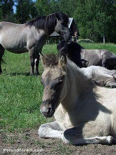 Tarpans - little Polish horses - cousins of the extinct wild Ukrainian steppe horses.