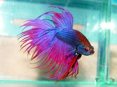 Most beautiful betta fish in the world - Below are some intriguing truths regarding Betta fish that will make you love as well as value them, and also maybe also want to possess several of your personal.