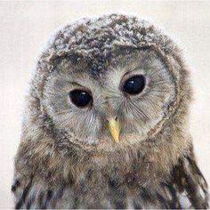 Little owlet <3