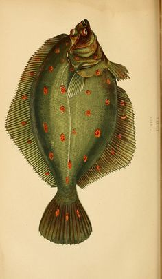 Plaice illustration from A History of the Fishes of the British Islands. Published by Groombridge and Sons, London, 1862-65