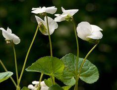 Gärtnerei Naturwuchs -- T - Z -- Viola odorata 'Alba' -- Weisses Duftveilchen