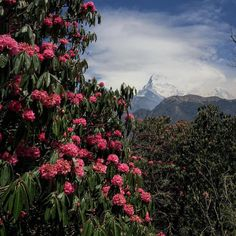 #Regram post to @pinterest Annapurna View during trek in Ghorepani #ABC #annapurnabasecamp #annapurnasanctuary #annapurna #azalea #rhododendron #himalaya #nepal #trek #trekking #iphone #iphone6 #iphonegraphy #iphonephotography #iphonecamera #vscocam by mee.chatiwat - #ViralInNature is named by Clutch.co as Canadas Top Social Media Marketing Agency http://vnat.ca/TopSocialMediaAgencyCanada2016 Visit us at http://bit.ly/1seeN6z