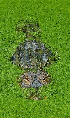 Alligator, Florida by navonco on Flickr