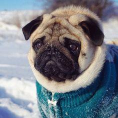 """That's too much bacon"" - said no one ever. #baconlover #pug #pugs #puglife #pugsofinstagram #pugmania #puglove #pugstateofmind #pugscorner #pugnation #pupsandpugs #ThePugPlace #pugscorner #smilingpugs #PopularPugs #cutedogday #brunoandgill #pugloversclub #PugLifeMag #TheTomCoteShow #darklordpug #worldofpug #dogsareawesomeee #worldofpugs #zerozeropug #pug_feature #featuremypug #pugbasement"