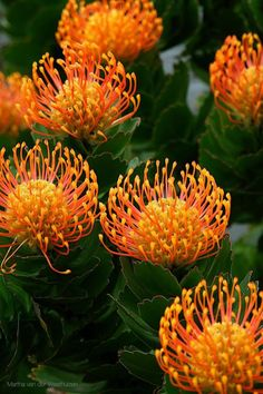 "vmcreationatelier: ""flowersgardenlove: "" Orange Pincushion fr Beautiful gorgeous pretty flowers "" They are gorgeous creation of Nature! Unusual Flowers, Rare Flowers, Amazing Flowers, Beautiful Flowers, Beautiful Gorgeous, Flowers Uk, Seasonal Flowers, Yellow Flowers, Simply Beautiful"
