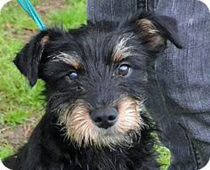Searcy, AR - Schnauzer (Standard)/Terrier (Unknown Type, Medium) Mix. Meet Brantley a Dog for Adoption.