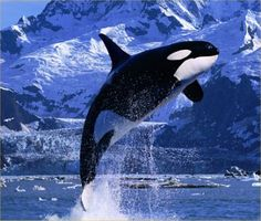 Killer Whale about to make a Splash!