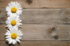 Check out Daisy flowers by windu on Creative Market