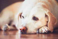 Regular-strength Benadryl is a common OTC antihistamine. So, is Benadryl safe for dogs? Let's look at how and when Benadryl might be recommended for dogs with allergies, anxiety, insect stings or bites, and motion sickness. Dog Separation Anxiety, Dog Anxiety, What To Feed Dogs, Constipated Dog, Benadryl For Cats, Angora Cats, Deaf Dog, Oils For Dogs, Old Dogs