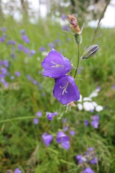 #finland #summer #wildflowers