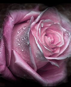 Hottest Images Hybrid Tea Roses pink Strategies Hybrid car tea would be the most seasoned list of red roses considered modern day yard roses. Beautiful Rose Flowers, Love Rose, Amazing Flowers, My Flower, Beautiful Flowers, Rose Fotografie, Ronsard Rose, Hybrid Tea Roses, Purple Roses