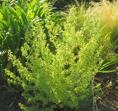 Late to the Garden Party: My favorite plant this week: Prostanthera ovalifolia 'Variegata'