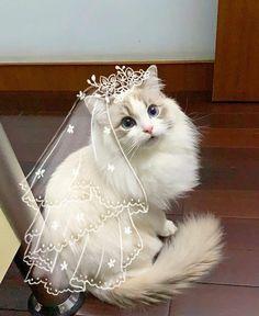 Pretty Cats, Beautiful Cats, Animals Beautiful, Beautiful Bride, Pretty Kitty, Cute Cats And Kittens, Kittens Cutest, Cute Baby Animals, Funny Animals