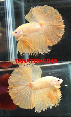 fwbettashm1435370474 - Super yellow Ohm male T45