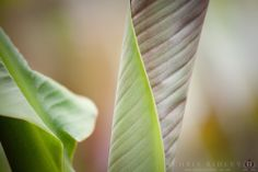 Musa Banana Leaf - License Botanical Images & Stock Photography  from http://archive.chrisridley.co.uk - This image is Copyright Chris Ridley.