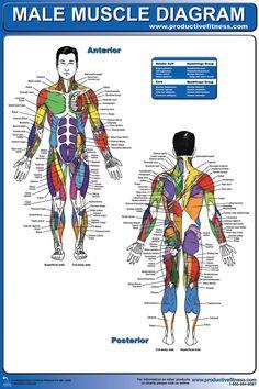muscle diagram 02