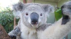 Say cheese! Koalas snap selfies at Aussie zoo
