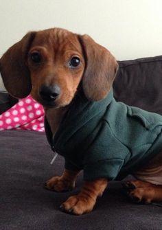 ❤️Looking dapper in my new hoodie. doxie