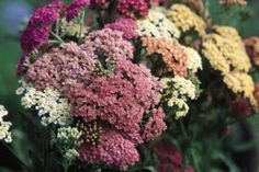 Plants that do well in clay soil. achillea among them. Landscaping Plants, Garden Plants, Clay Soil Plants, Yarrow Plant, Achillea Millefolium, Professional Landscaping, Shade Trees, House Landscape, Tutti Frutti