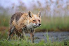 Animal Photography — Vixen