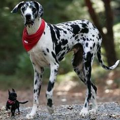 Huge Grand Danios in black and white and tiny dog