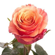 Rosa Espana: bud appears dark orange to red, but opens to warm coral orange colour.